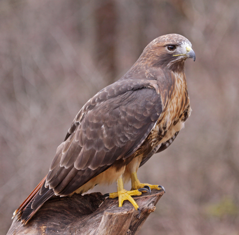 A Red-tailed hawk (Buteo jamaicensis) sitting on a stump