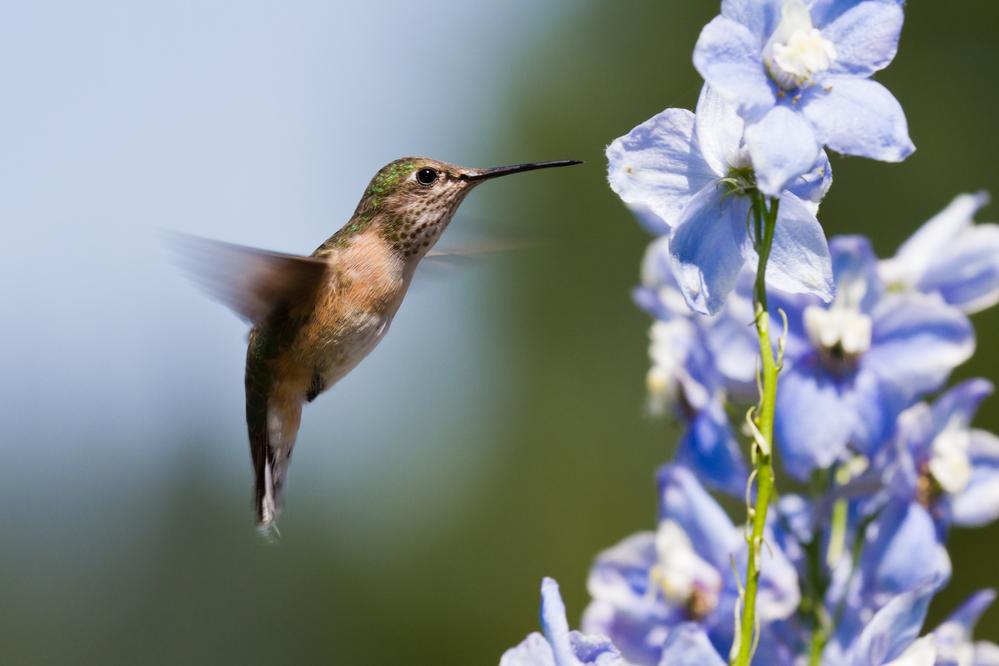 humming bird feeding on delphinium