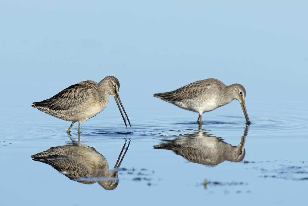 Two long billed dowitchers