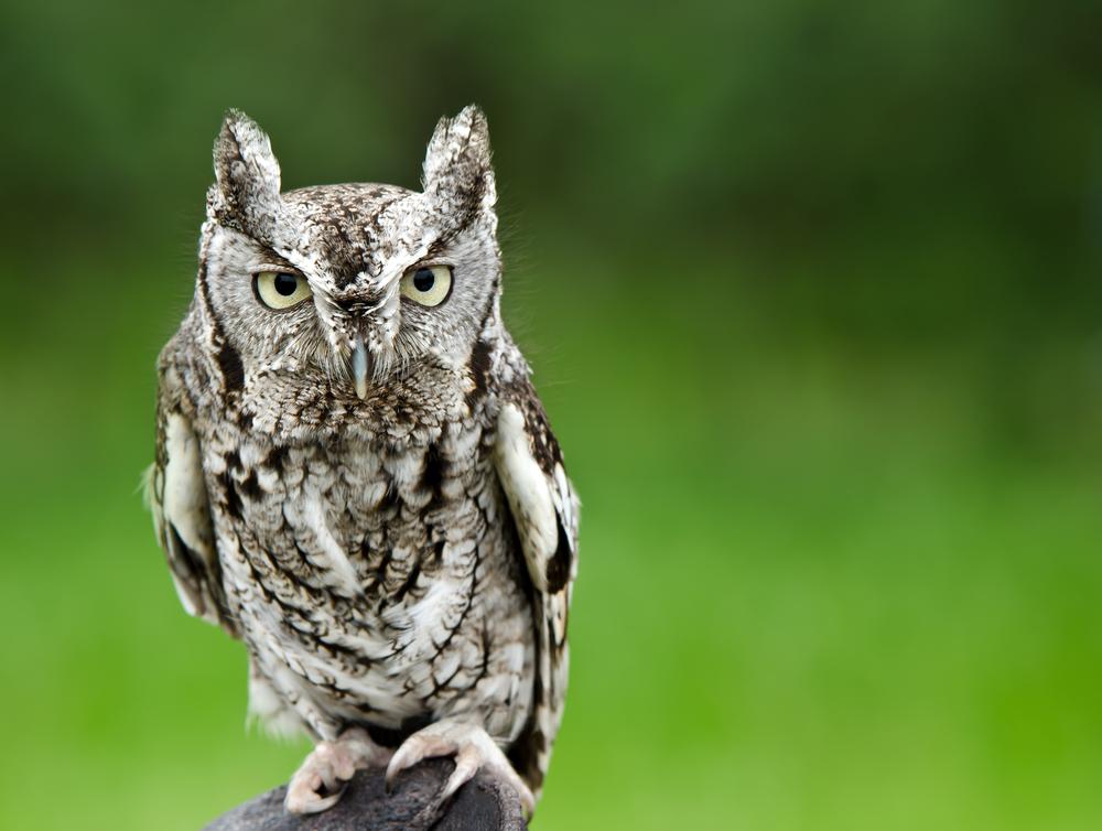 Eastern Screech Owl – Megascops asio