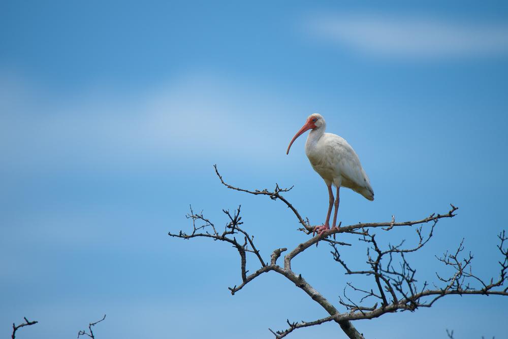 Eudocimus albus ibis