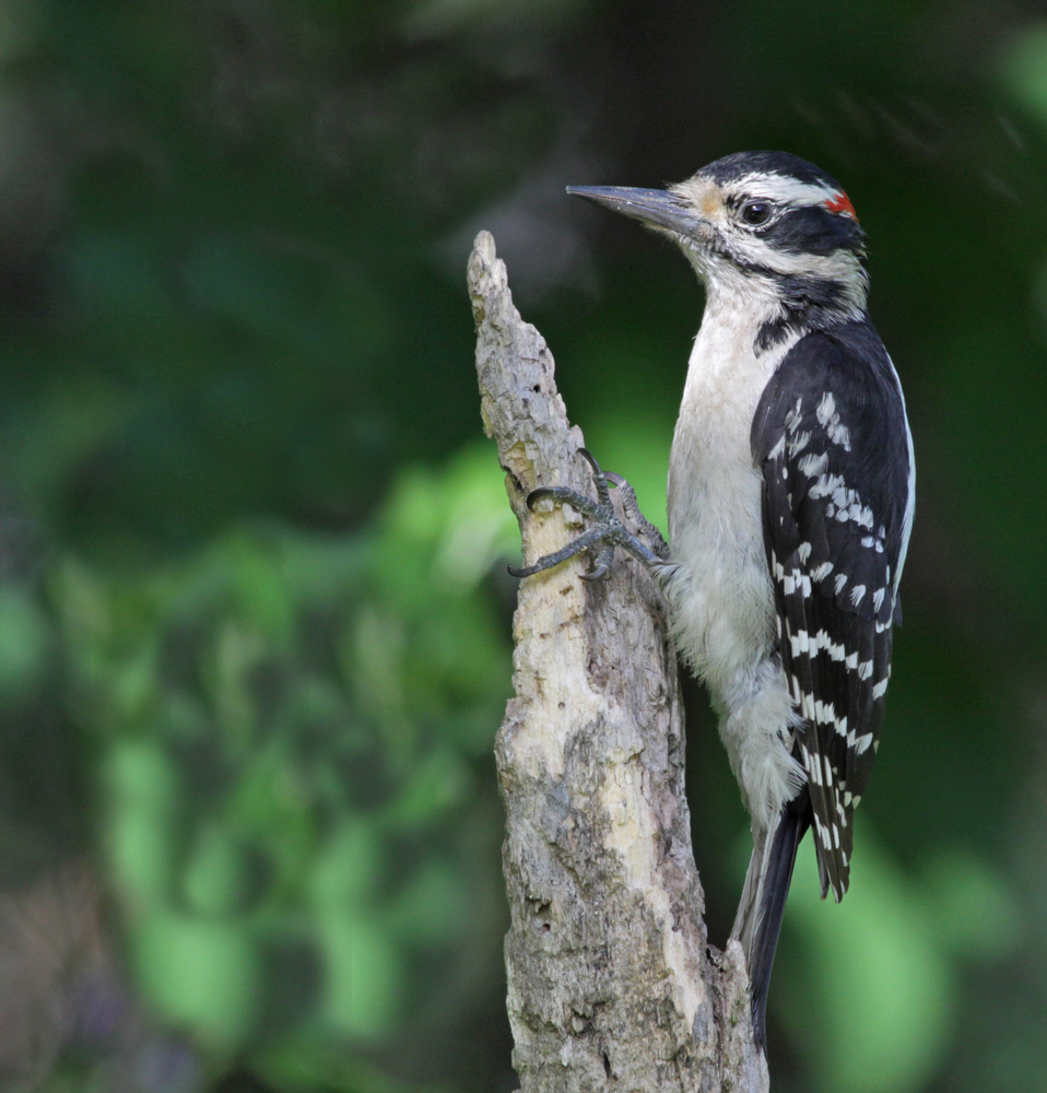 Hairy Woodpecker - Dryobates villosus