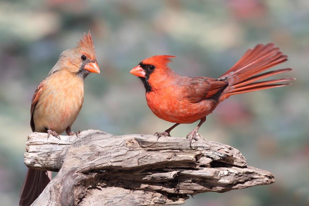 Pair of Northern Cardinals (cardinalis)