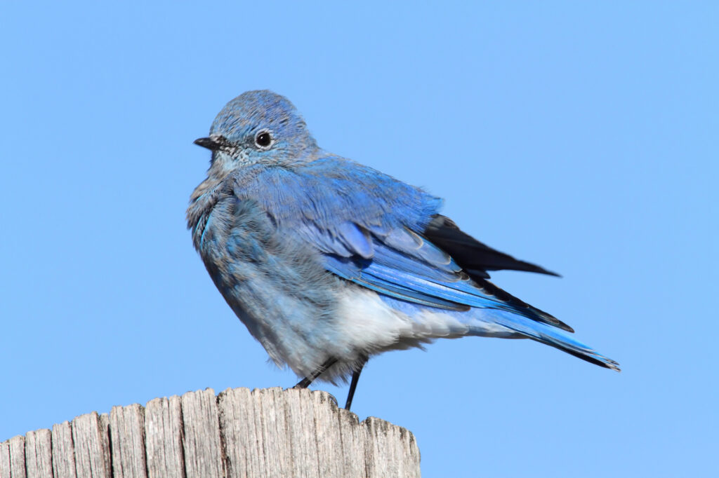 Male Mountain Bluebird (Sialia currucoides)