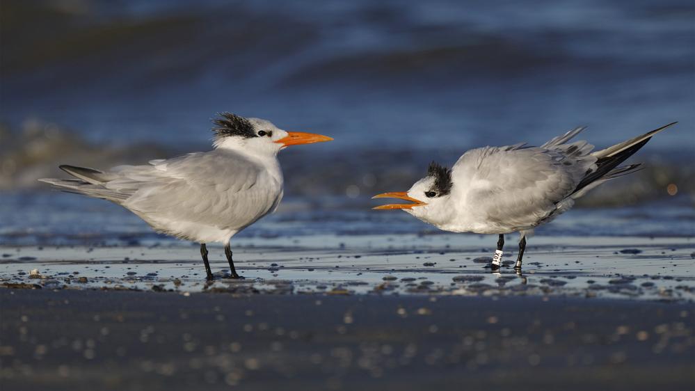 Royal Terns (Thalasseus maximus)