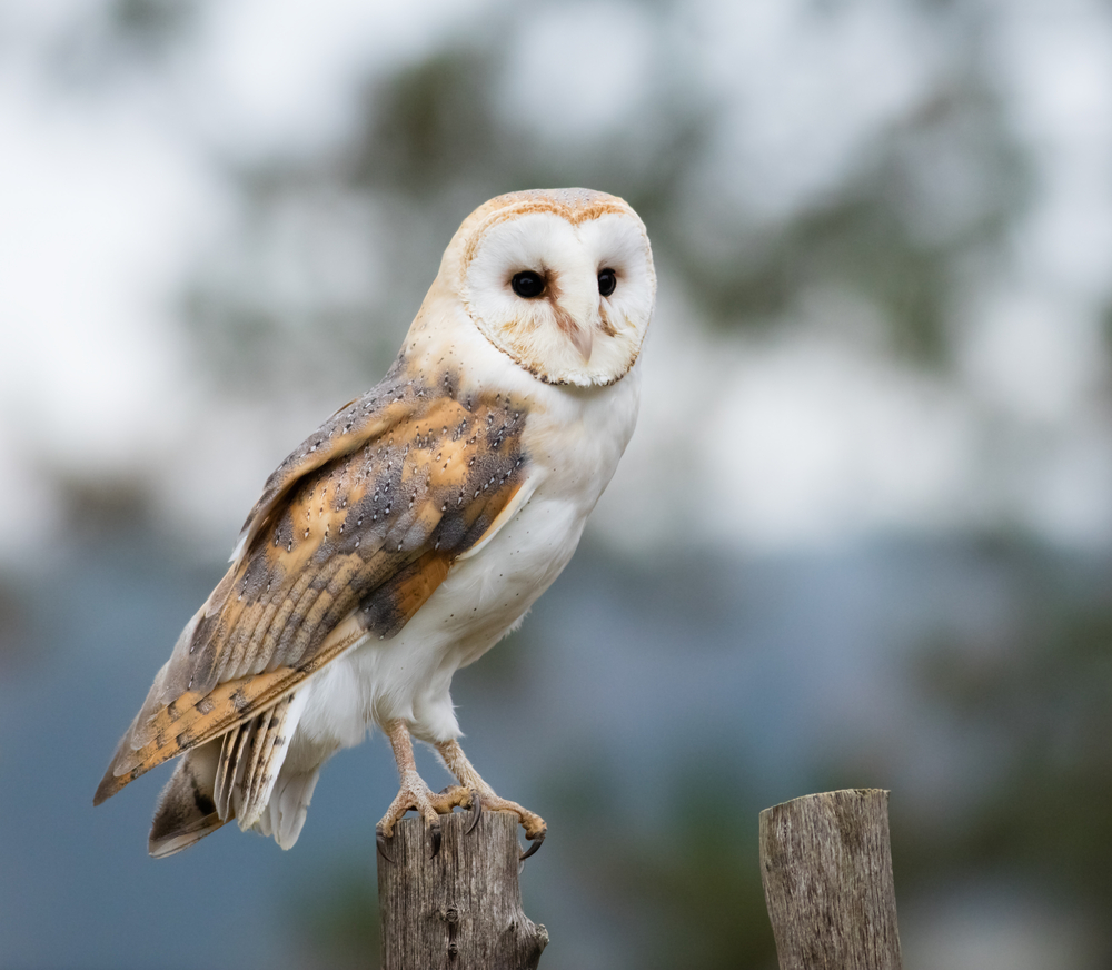 Barn Owl perches on a fence post