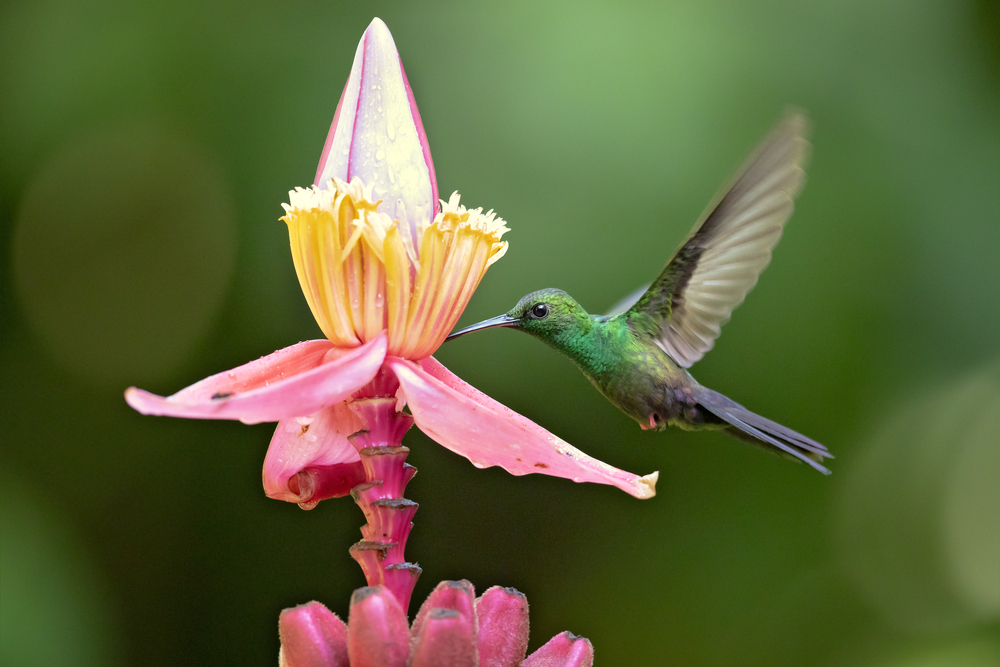 hummingbird drinking nectar out of flower