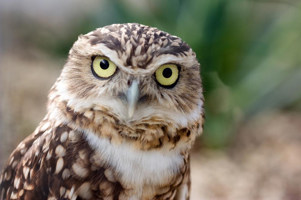 Burrowing Owls in georgia