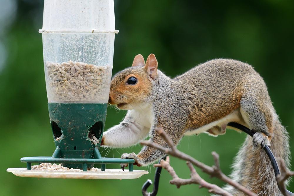 squirrel stealing food from a bird feeder