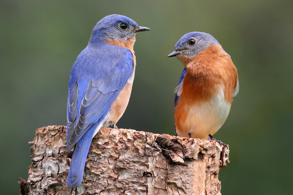 Pair of Eastern Bluebird (Sialia sialis)
