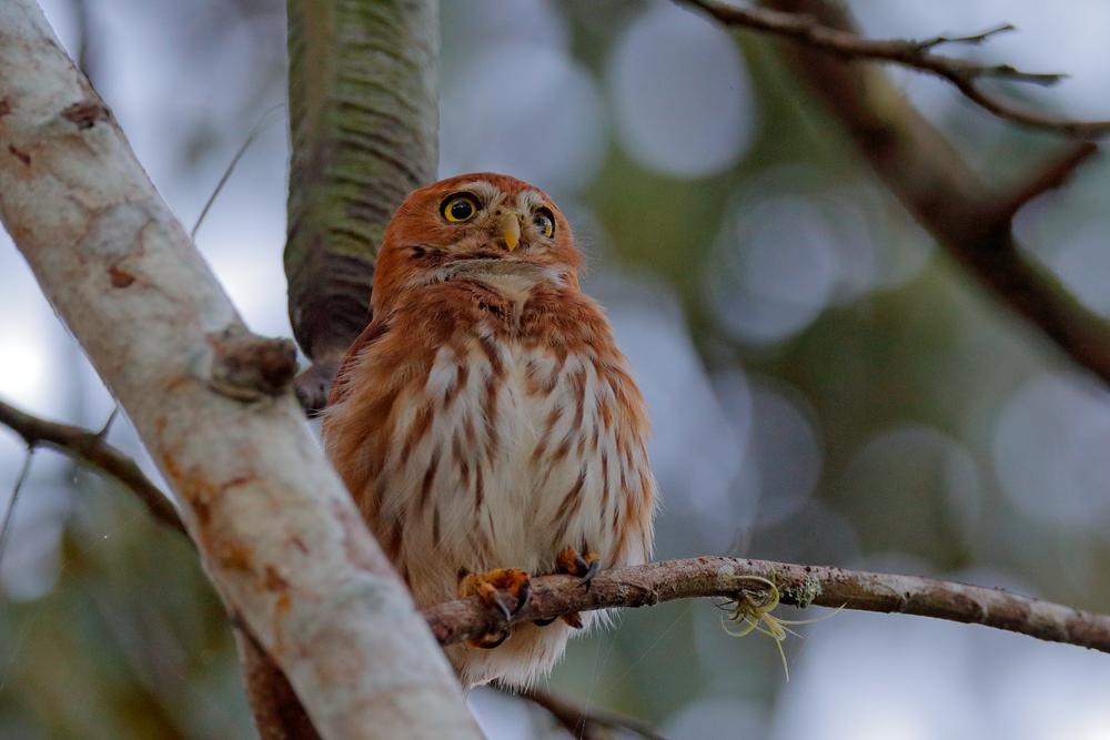 Glaucidium brasilianum, Ferruginous Pygmy-owl