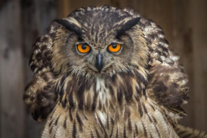 great horned owl in texas