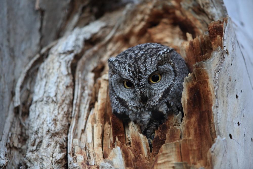 Western Screech-owl, (Megascops kennicottii)